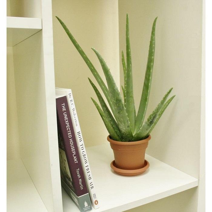Image result for कमरे में लगाए  एलोवेरा का पौधा