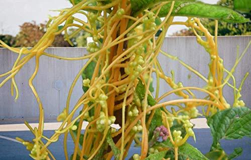 प्रिया लता अमर बेल देवी के प्रिय पौधे हैं। इसे दक्षिण ईस्ट दिशा में लगाना शुभ माना जाता है।