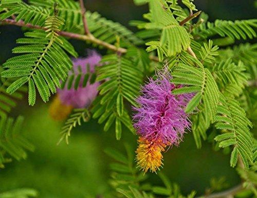 घर में मंगल और सुख समृद्धी की प्राप्ति के लिए नवरात्रि के दौरान घर में शमी के पौधा जरूर लगाएं।