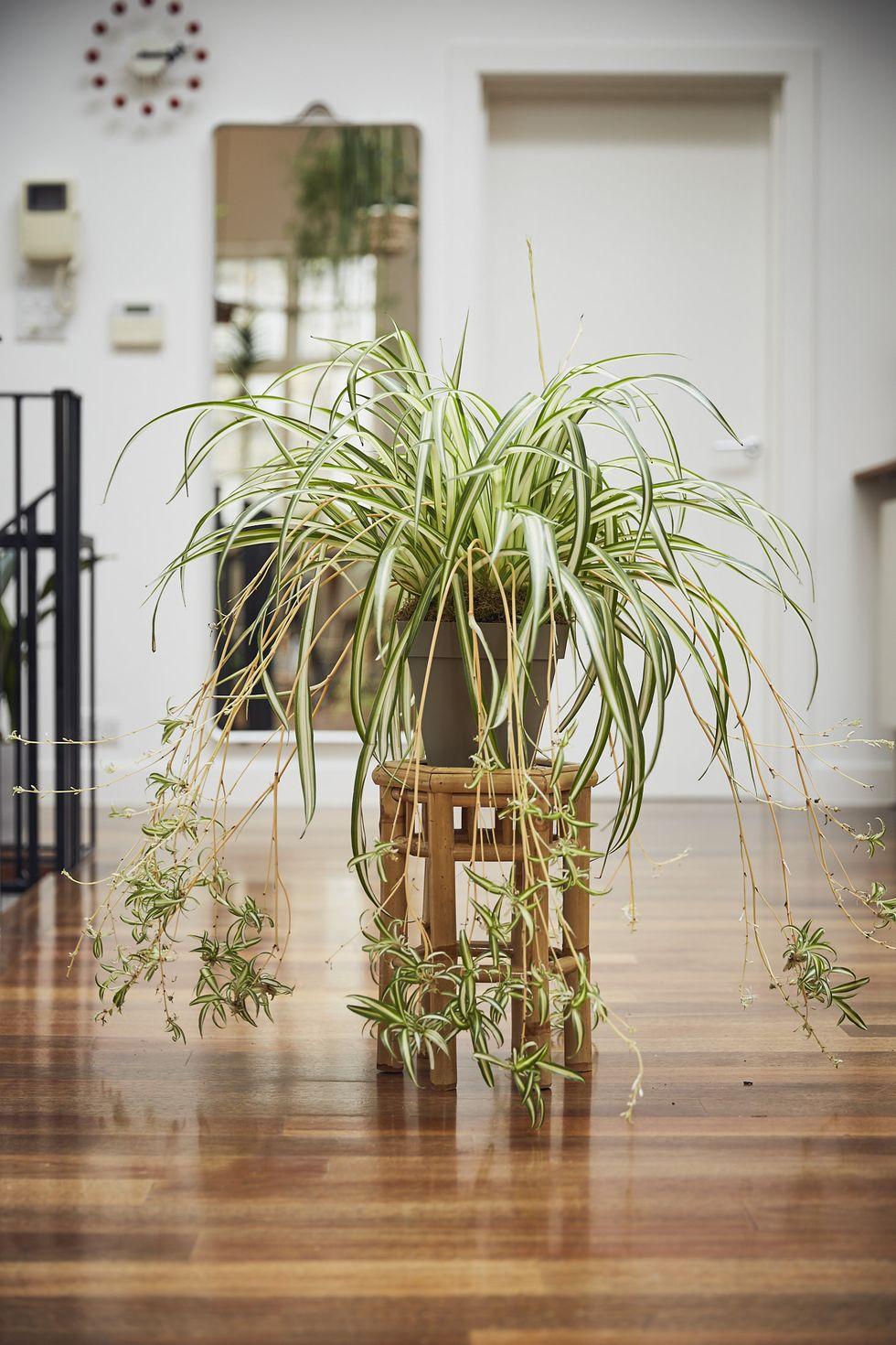 स्पाइडर प्लांट (Spider Plant)