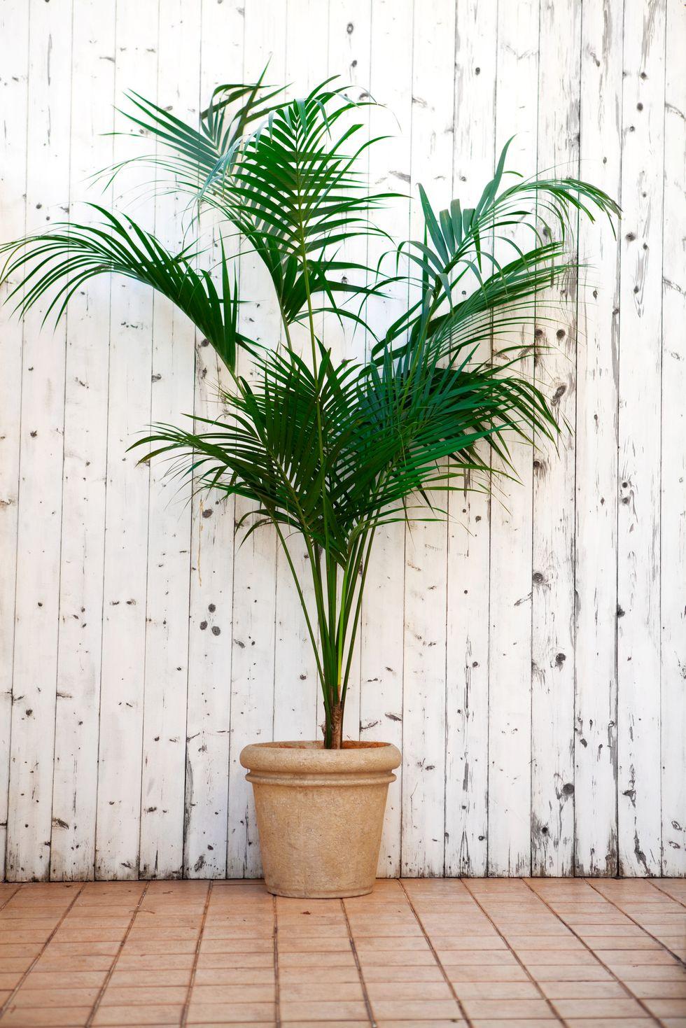 केंटिया पाम (Kentia Palm)