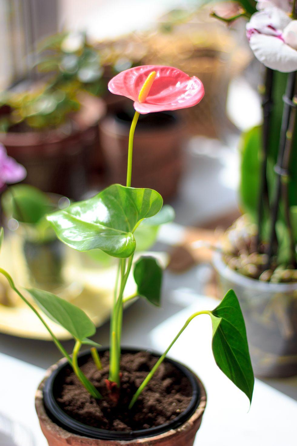 एन्थोरियम (Anthurium)