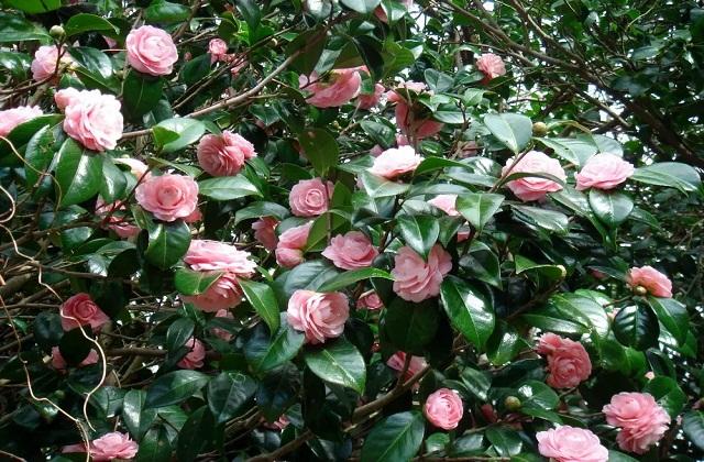 कैमेलिया (Camellia) का पौधा सर्द हवाओं को आसानी से सहन कर लेता है। ऐसे में यह पौधा सर्दियों में आसानी से बढ़ता है।