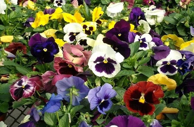 अगर आप अपने गार्डन को रंग-बिरंगे फूलों से सजाना चाहती है तो पैंसी (Pansy) का पौधा लगाएं।