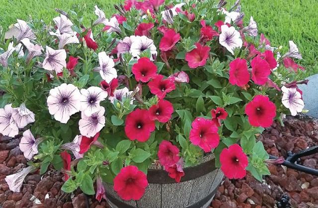 पेटूनिया (Petunia) का पौधा सर्दियों में उगाया जाता है।