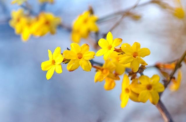 सर्दियों के दिनों में बाग को सुंदर फूलों से सजाने के लिए शीतकालीन चमेली (Winter jasmine) का पौधा लगाना बेस्ट रहेगा।