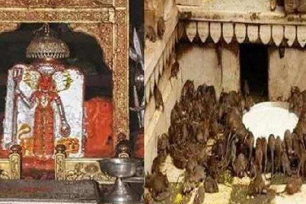 इस मंदिर के मशहूर होने की एक वजह यह भी है कि इस पावन स्थल पर ढेर सारे चूहे भी हैं। इस कारण यह 'चूहे वाला मंदिर' के नाम से भी जाना जाता है।