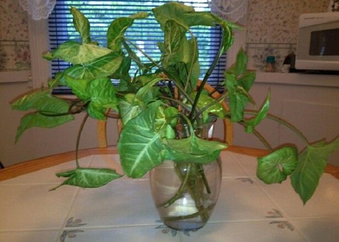 एरोहेड/सिंगोनियम प्लांट के पौधे के पत्ते तीर की तरह दिखाई देते हैं। यह पौधा घर की खूबसूरती को चार-चांद लगाने का काम करता है।
