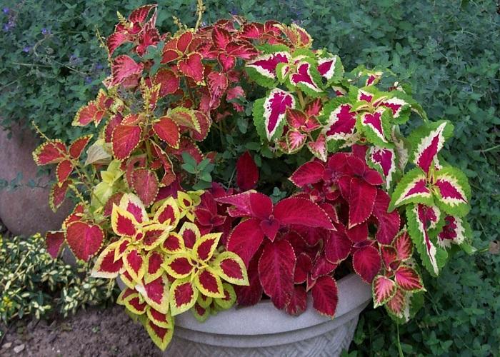 हल्के गुलाबी और हरे रंग की पत्तियों वाले इस पौधे को आप अपनी खिड़की के पास टेबल पर रख सकते हैं।