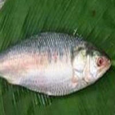 बांग्लादेश ने हिल्सा मछली पकड़ने पर 22 दिन का प्रतिबंध लगाया