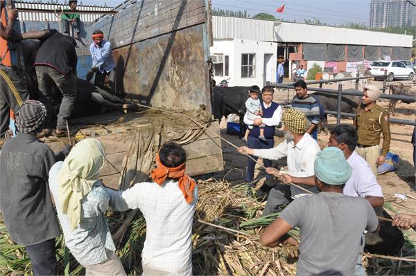 पशु तस्करी का प्रयास विफल, सोहाना में पशुओं से भरा ट्रक काबू, इस दौरान 2 पशुओं की मौत, 9 बेसुध