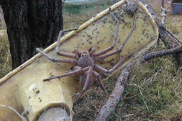 ऑस्टेलिया में दिखी सबसे बड़ी मकड़ी
