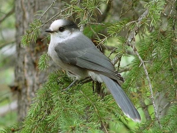 कनाडा का राष्ट्रीय पक्षी घोषित