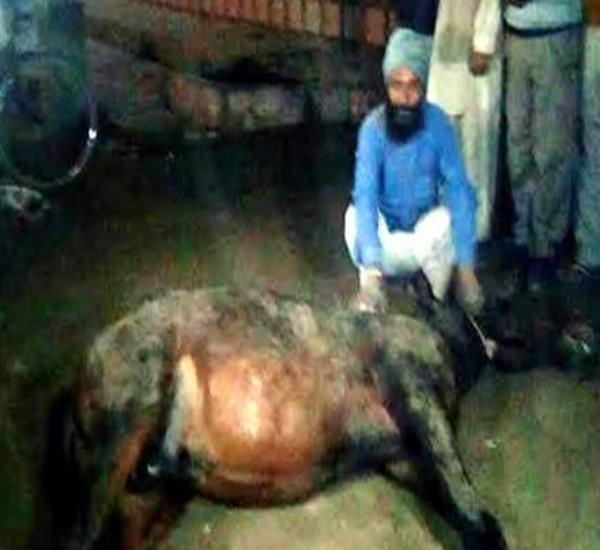 स्ट्रीट लाइट में करंट आने से घोड़े की मौत