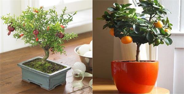 Home Garden में भी आसानी से लगा सकते है ये 6 फ्रूट ट्री