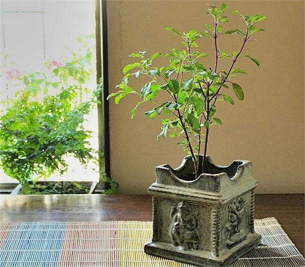 घर में सुख-समृद्धि और पॉजिटिव एनर्जी के लिए इस दिशा में लगाएं Basil Plant