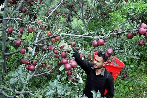 हिमाचल में सेब सीजन पर जलवायु परिवर्तन की पड़ी मार