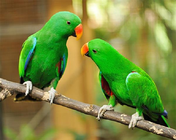 राहु-केतु-शनि एवं मंगल की वक्रदृष्टि से मुक्ति दिलवाता है तोता