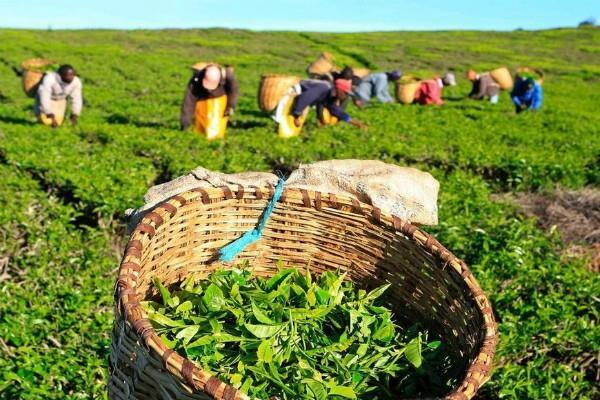चाय उत्पादकों को राहत, बंद होंगे आइरन फाइलिंग के मामले