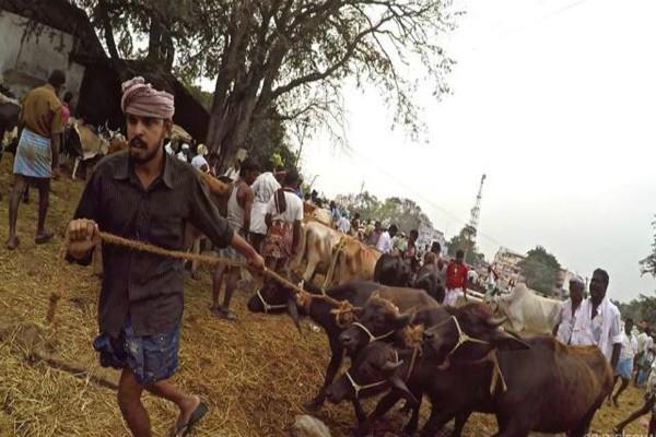 अध्ययन: भारत के डेयरी उद्योगों में पशुओं के साथ किया जाता है क्रूर व्यवहार