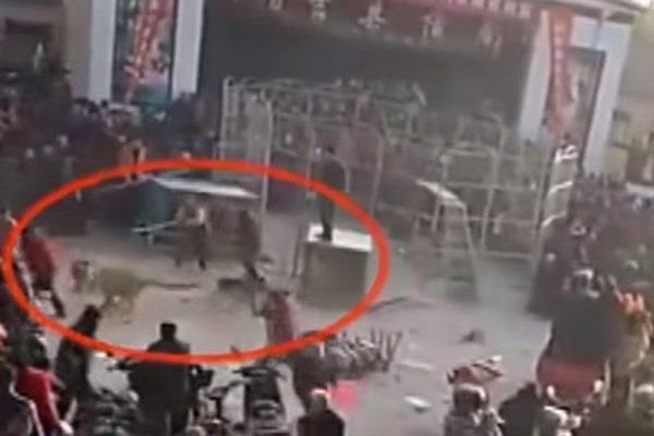 सर्कस देख रहे लोगों पर बाघ ने कर दिया हमला, देखें खौफनाक Video