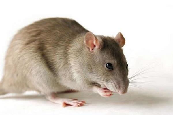 चूहे ने गाड़ी के AC की वायरिंग काटी, कंपनी को मुआवजा भरने के आदेश