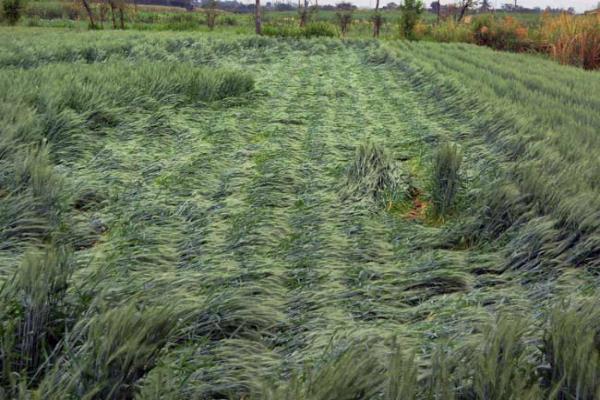 बेमौसम बारिश से हो रहा है फसलों का नुकसान