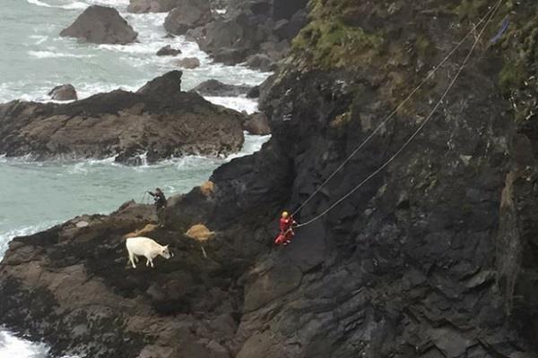 40 फुट की उंचाई से गिरी गर्भवती गाय, तस्वीरें VIRAL