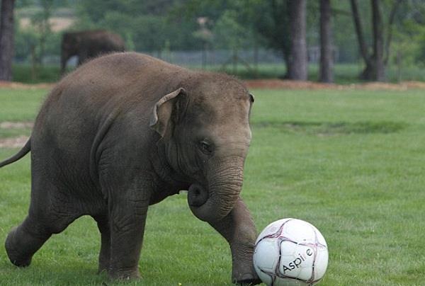 इस हाथी के आगे सभी फुटबॉलर फेल, सोशल मीडिया पर वायरल हुआ वीडियो