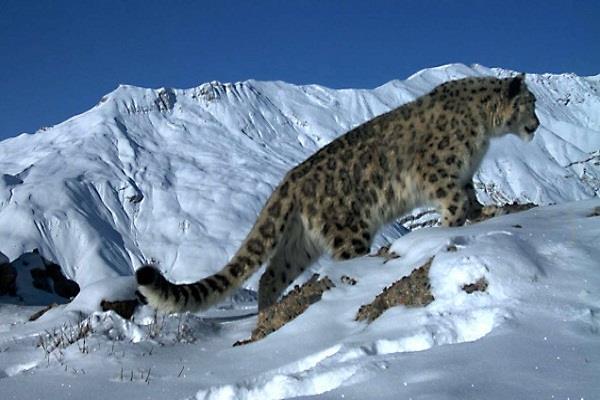 Watch Pics: यहां Snow Leopard की रेडियो कोलरिंग आसान नहीं