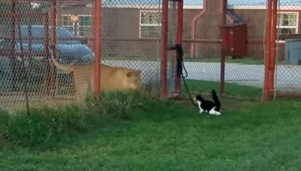 बिल्ली ने लगाई शेरनी की क्लास, वायरल हुआ ये मजेदार वीडियो