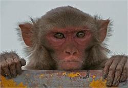 बंदरों के आतंक से सहमा बहराइच, 4 बच्चों समेत 12 लोग घायल