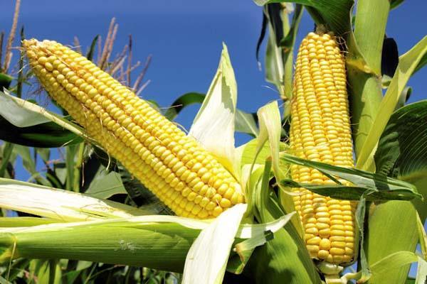 किसानों के लिए खुशखबरी! मक्की के साथ अब इस फसल का भी होगा बीमा