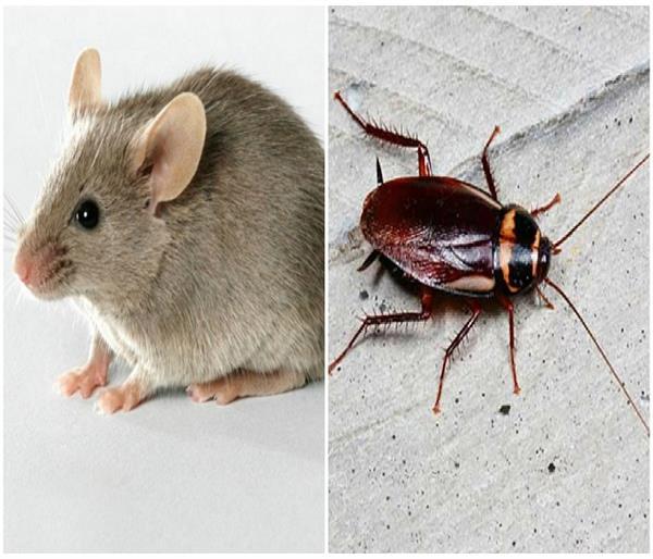 ये सस्ते तरीके अपनाएं और कॉकरोच-चूहों को घर से दूर भगाएं