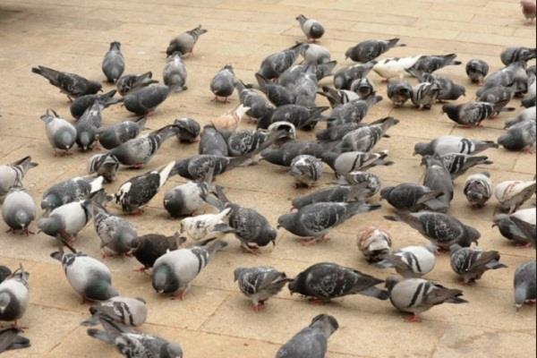 पक्षियों को दाना डालने के बाद न करें ये गलती, हो सकता है भारी नुकसान