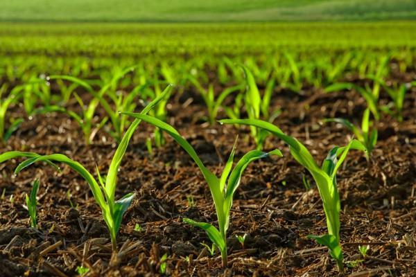 प्रमुख खरीफ फसलों की बुवाई 5.77 लाख हेक्टेयर कम