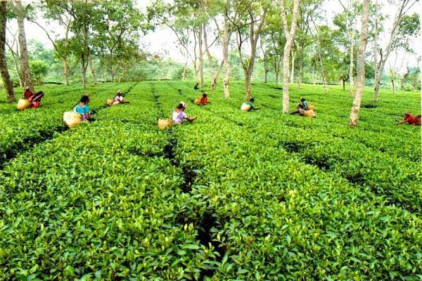 चाय बगानों के संगठन ने की कामगारों के खर्च के लिए पैकेज की मांग