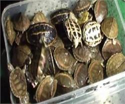 अवैध तस्करी के गिरोह का पर्दाफाश, दुर्लभ प्रजाति के सैंकड़ों कछुओं सहित 3 गिरफ्तार