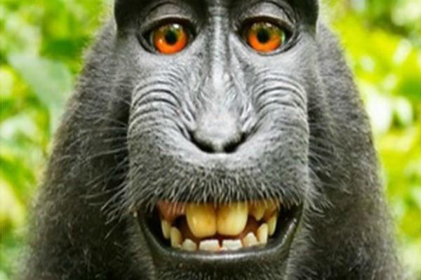 बंदर की सेल्फी से होने वाली कमाई का मामला सुलझा