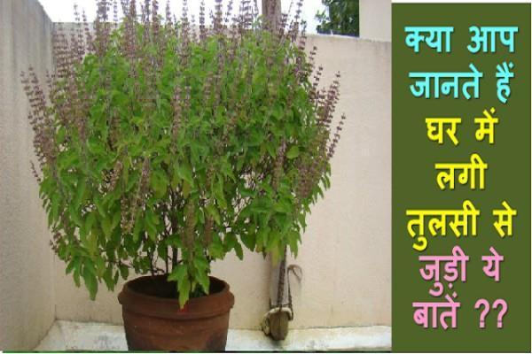 घर में रखा तुलसी का पौधा फायदे की बजाय नुक्सान भी पहुंचा सकता है