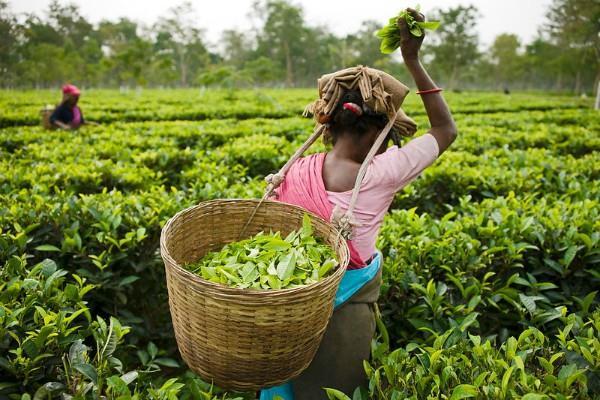 दार्जिलिंग के चाय बागान मजदूरों के बोनस का मुद्दा अधर में