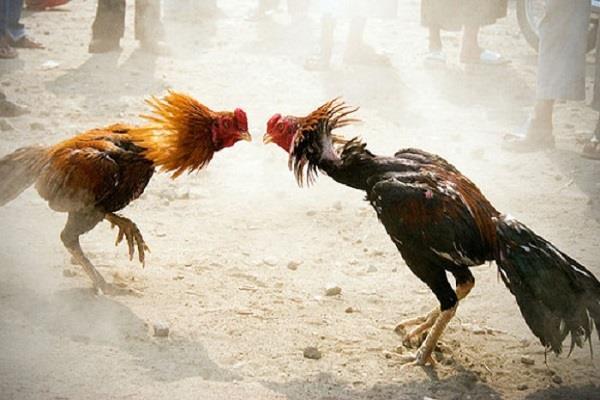 पुलिस के छापे में पकड़े गए मुर्गे, अब अदालत में होगी उनकी पेशी
