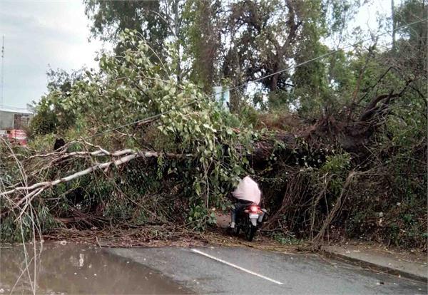 120 साल पुराना सफेदे का पेड़ गिरा
