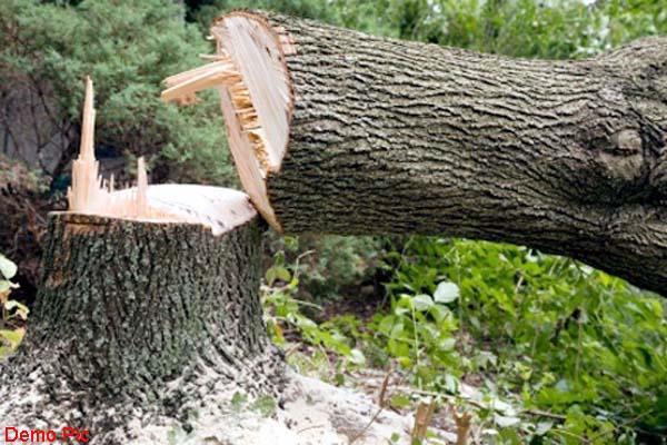यहां वन माफिया के हौसले बुलंद, खैर के सैंकड़ों पेड़ों पर चलाई कुल्हाड़ी
