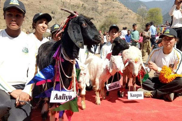 बकरियों का अनोखा स्वयंवर, विदेशी मेहमान भी बने गवाह