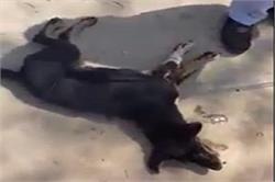 कुत्ते को मोटरसाइकिल से बांध घंटों घसीटा, दर्द से चिल्लाता रहा बेजुबान जानवर