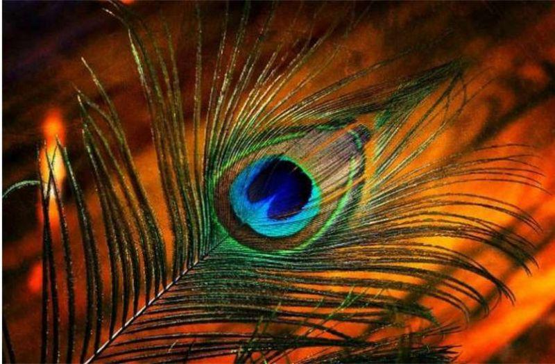PunjabKesari Peacock feather