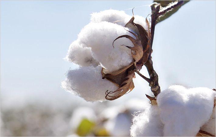 PunjabKesari, Cotton, रुई