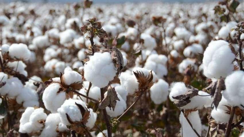 PunjabKesari, cotton, रूई