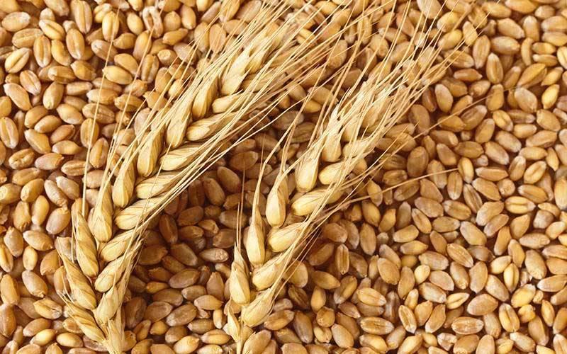 PunjabKesari, गेहूं, Wheat